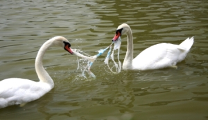 iStock_plastic bag with swans