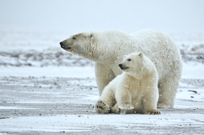 http://upload.wikimedia.org/wikipedia/commons/4/45/Polar_Bear_ANWR_1.jpg