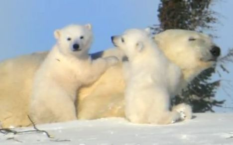 screen shot nrdc polar bears arctic shell oil